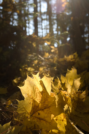 Beautiful yellow fallen autumn maple leaves in sunlight. autumn forest. autumn natural landscape. Autumn