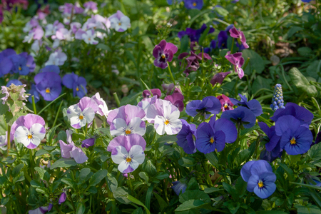 Fresh colorful primula in spring. Familiar wildflower of banks and verges, the primrose, primula vulgaris. Various colors, pink, white, blue 免版税图像
