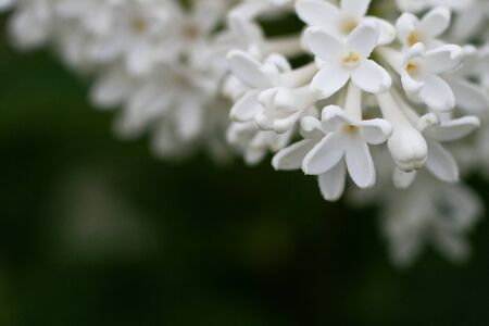 Blossoming common Syringa vulgaris lilacs bush white cultivar. Springtime landscape with bunch of tender flowers. lily-white blooming plants, close up Foto de archivo - 133570916