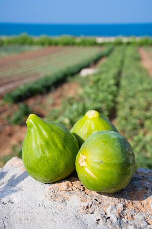 Fresh green figs on the background with agriculture field