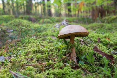 Tasty edible mushroom boletus edulis, penny bun, cep, porcino or porcini in a beautiful forest among moss with pine tree, close up