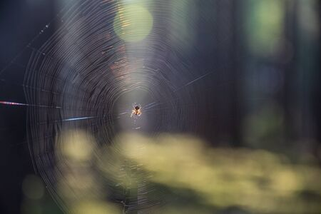 A glittering web in the forest in the sun. Spider and its web in the forest in the sun with trees on background