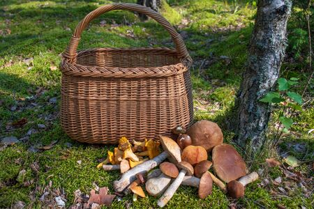 Various mushrooms near a wicker basket on the moss in a forest, chanterelle, boletus edulis, penny bun, cep, porcino or porcini, mushrooming