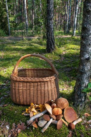 Various mushrooms near a wicker basket on the moss in a forest, chanterelle, boletus edulis, penny bun, cep, porcino or porcini, mushrooming, vertical