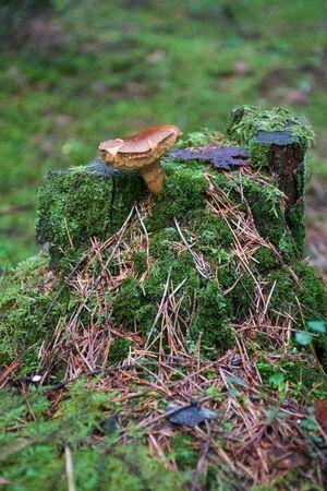 Beautiful closeup brown mushroom bearded milkcup growing on an old trunk with green moss. Mushroom macro, Mushrooms photo, forest photo, forest background, vertical Reklamní fotografie