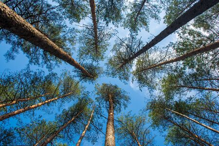 Beautiful pine trees in evergreen forest with blue sky, shot from below