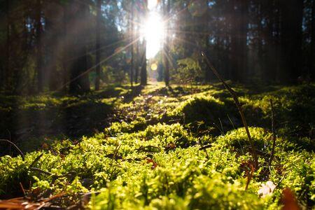 Bosque con luz solar. Los rayos del sol a través de ramas y árboles, hermosa alfombra de musgo, naturaleza