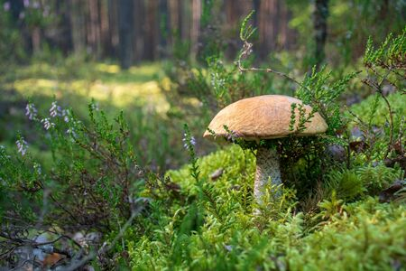 Tasty edible beautiful mushroom boletus edulis, penny bun, cep, porcino or porcini in a beautiful natural landscape among moss and little flowers, close up