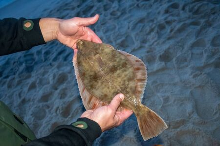 European flounder or Platichthys flesus, flatfish in the hands of a fisherman on the shore, night fishing Foto de archivo