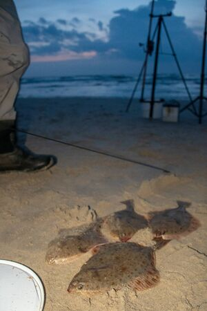 European flounder or Platichthys flesus, flatfish on the sandy shore, night fishing, vertical Reklamní fotografie