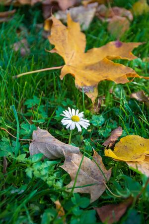 Little ox-eye daisy, oxeye daisy or daisy dog, in the green grass in autumn with yellow leaves, vertical