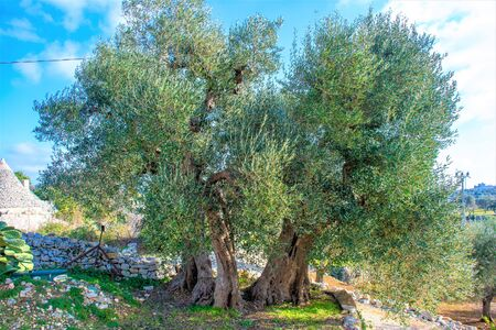 Beautiful big secular olive tree in the countryside