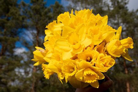 Beautiful bouquet of yellow daffodils with forest background, narcissus, close up