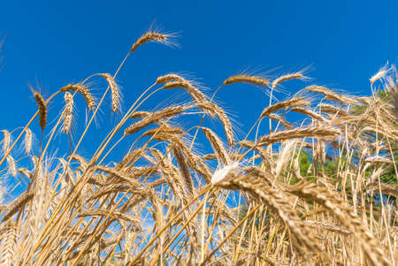 Wonderful field of yellow wheat ears ready to be harvested in summer with blue sky in the background