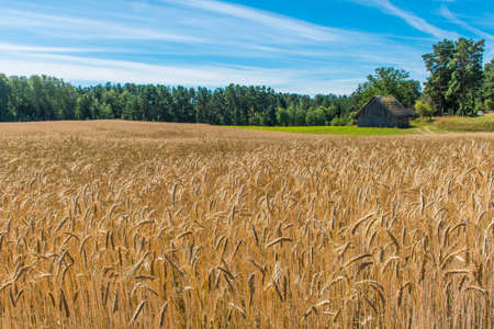 Wonderful field of yellow wheat ears ready to be harvested in summer with wooden house farm and forest on background