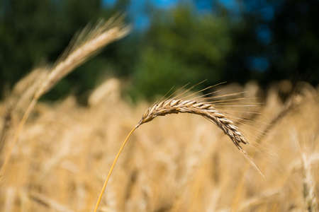 Wonderful field of yellow wheat ears ready to be harvested in summer, close up 免版税图像