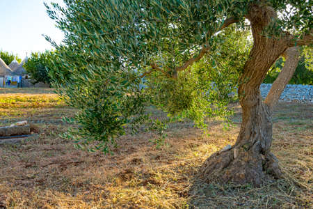 Beautiful olive tree with trunk and leaves in the countryside on sunset with sunbeams