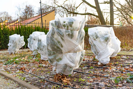 Plants and trees in a park or garden covered with blanket, swath of burlap, frost protection bags or roll of fabric to protect them from frost, freeze and cold temperature in winter