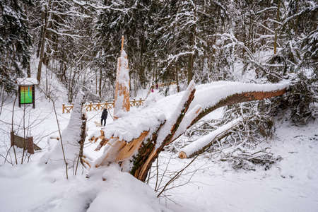 Secular old giant pine tree trunk covered by the snow fallen on the path after heavy snowfall in a park or forest in winter