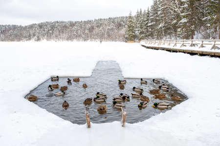 Ducks in the water in a hole in the ice made on a frozen lake in winter with forest on background