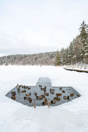 Ducks in the water in a hole in the ice made on a frozen lake in winter with forest on background, vertical