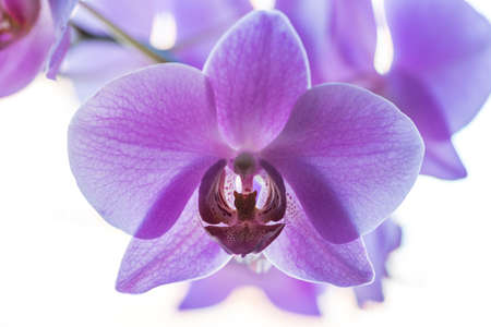 Wonderful blue or violet orchid flower with white background, close up, macro