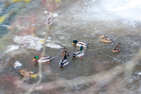 Ducks in a frozen river in winter, snow and ice melting, flowing stream, nature background