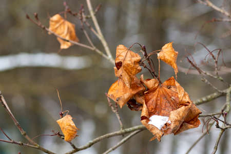Dry leaves on a branch of a tree covered with snow or frost, cold temperature