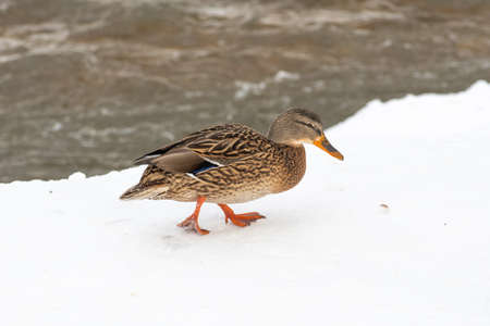 Duck in a frozen river in winter, snow and ice melting, flowing stream, nature background Stock fotó