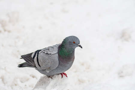 Isolated pigeon bird on the snow in winter after a big snowfall, close up Stock fotó
