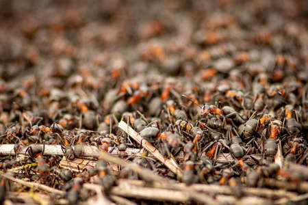 Big anthill and nest of formica rufa, also known as the red wood ant, southern wood ant, or horse ant, close up