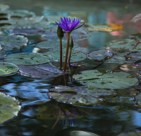water lilly: single purple flower surrounded by lilly pads in a pond Stock Photo