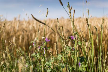 grain fields: Detail of an ear in a field of wheat
