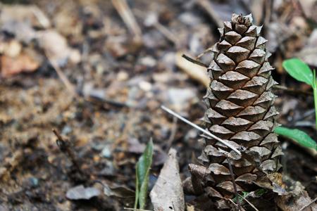 close p: A single pinecone on ground