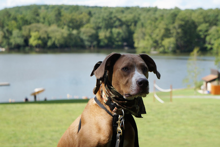 bandanna: Portrait of tan dog with bandanna, collar, and seat belt with Lake view background