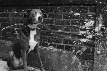 alleyway: Focused male dog against a brick paint splattered wall in urban downtown grunge alleyway in black and white