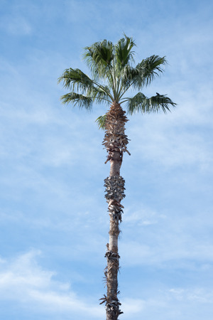 Tropical palm tree against the blue sky background