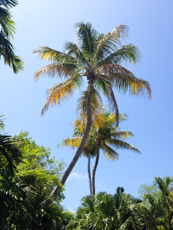 Palm trees against the blue sky background in Key West, Florida