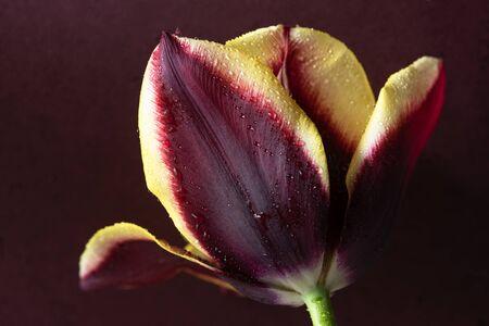 Maroon and Yellow Tulip