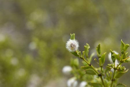 creosote: Creosote bush and seed