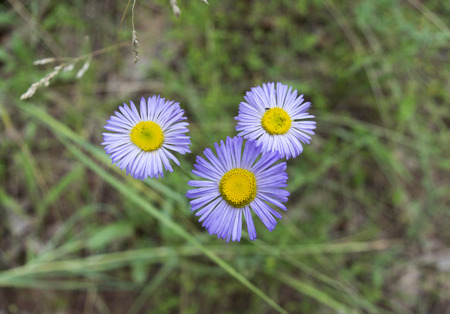 coconino national forest: Purple wildflowers, Coconino National Forest