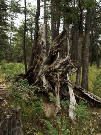 ponderosa pine: Pine tree roots Stock Photo