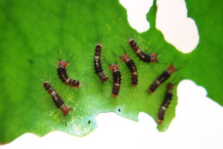 young leave: group of caterpillara eating leave