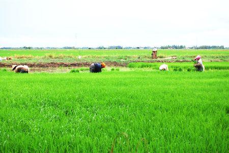 replanting: Farmers working in paddy field, Planting season