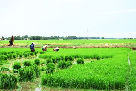 replanting: Farmers working in paddy field, Planting season