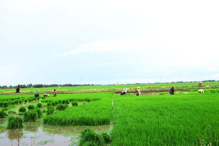 replant: Farmers working in paddy field, Planting season
