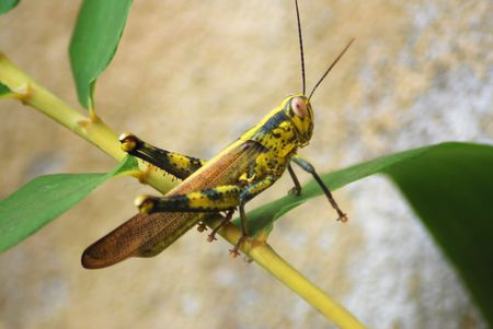 filamentous: Locust, Grasshopper on leaf