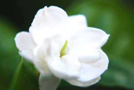 Jasmine Flower, Melur Flower Stock Photo