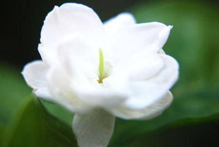 Jasmine Flower, Melur Flower Stock Photo - 5162855