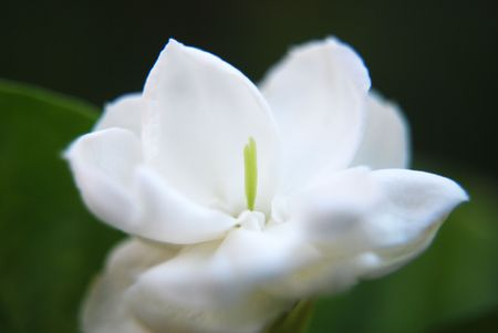 Jasmine Flower, Melur Flower photo